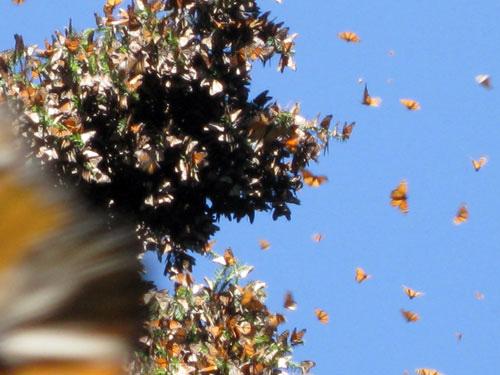 Monarch Life Span