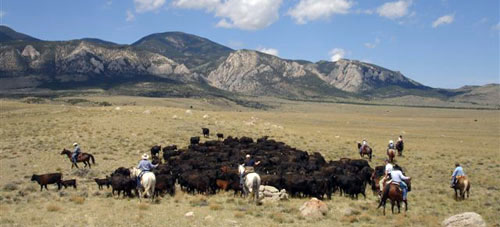 Cattle ROund up in Montana