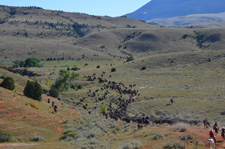 USA-Wyoming-Pryor Mountains Cattle Drives
