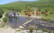England-Dartmoor-The Dartmoor Cattle Drive