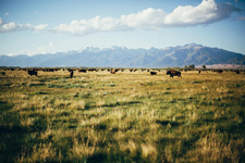 USA-Colorado-Bison and Cattle Working Ranch in Colorado