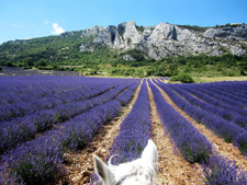 France-Provence-Provence Lavender Road