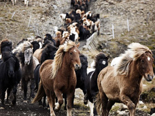 Horse Round Up in Iceland