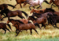 USA-California-Wild Mustangs - A Living Legacy