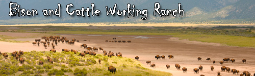Buffalo and Cattle Working Ranch in Colorado
