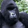 A Silverback Gorilla