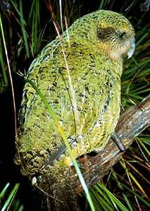 A Kakapo, yesterday