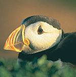 Puffin in Pembrokeshire
