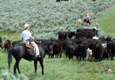 Round Ups and Cattle Drives