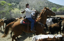 Cattle Round Ups and Cattle Drives